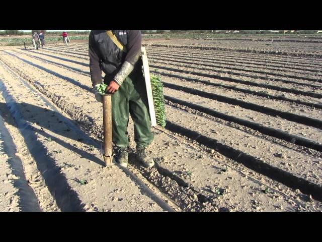 El cultivo del Brocoli - Sakata Seed Iberica Travel Video