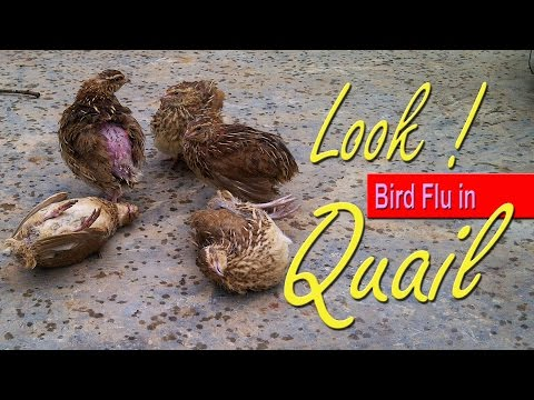 Avian Flu, Bird Flu Symptoms, 鳥 インフルエンザ  Influenza H5N1 Virus in Quail, 養鶏 場