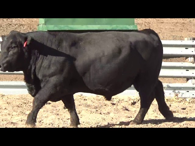 Connealy Angus Lot 223
