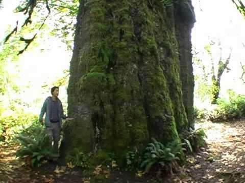 Canada's Largest Spruce Tree - The San Juan Spruce!