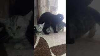 Вязка Кошек (камасутра)😀😂😂