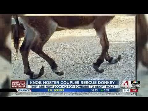 After rescue, Knob Noster donkey in need of adoption