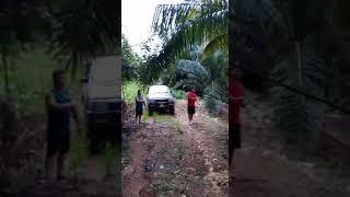 Meniwak kelapa sawit.