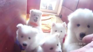 Щенки самоедской собаки (лайка)