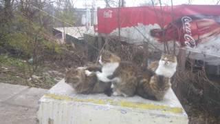 Коты делают друг другу массаж. Прикол.