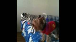 Toy Dalmatian Pebbles And A Yorkie Hairball.mov