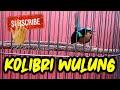 Kolibri Wulung Kolibri Muncang Teman Ngopi Pagi Hari Pas Untuk Masteran Burung Kicau  Mp3 - Mp4 Download