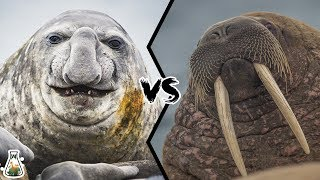 ELEPHANT SEAL VS WALRUS - Who would win this deadly struggle?
