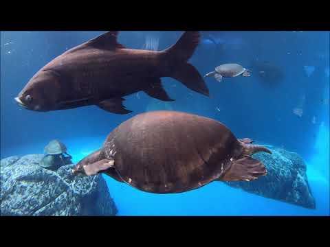 GWの鳥羽水族館をGoProHERO7Blackで撮影☆ミシシッピーワニの餌やり・マナティ・イロワケイルカ・フンボルトペンギン・スナドリネコ☆海の生き物