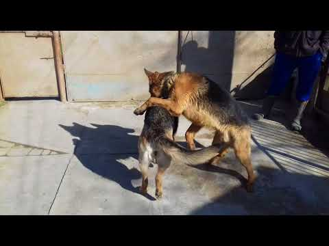 Как происходит случка у собак