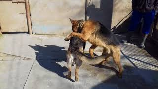 (16+)Как происходит вязка собаки