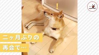 みんなで楽しみに待ってたよ! お兄ちゃんの帰宅に喜びを抑えられない柴犬♡【PECO TV】 thumbnail