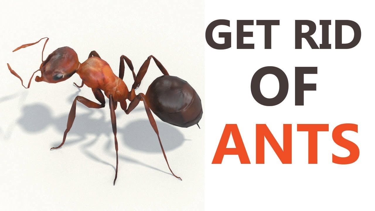 Charming 10 Best Home Remedies To Get Rid Of Ants | How To Get Rid Of Ants Naturally  At Home