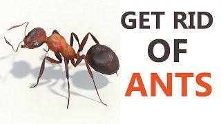 10 Best Home remedies to Get Rid of Ants | How to Get Rid of Ants Naturally At Home