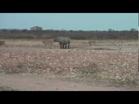 Rhino fighting lions! - Etosha Radeldraf waterhole