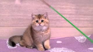 Британский кот Меррлен Жеррар