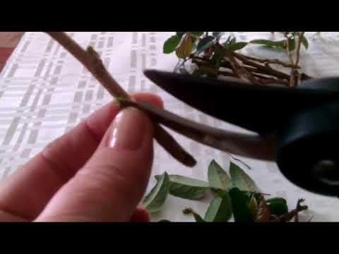 Размножение черенками магонии-