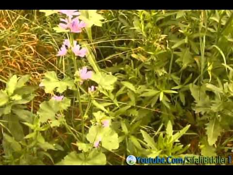 hatmi çiçeği ve hatmi çiçeğinin faydaları