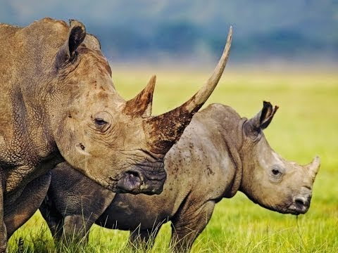 RHINO POACHING - The Myth vs The Legend