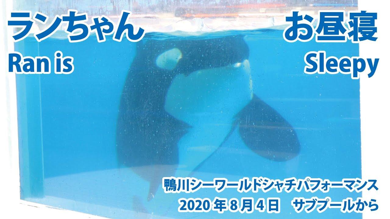 ランちゃん お昼寝 Ran is sleepy【2020年8月4日 サブプールから 鴨川シーワールド シャチパフォーマンス】Killer whale performance, Kamogawa
