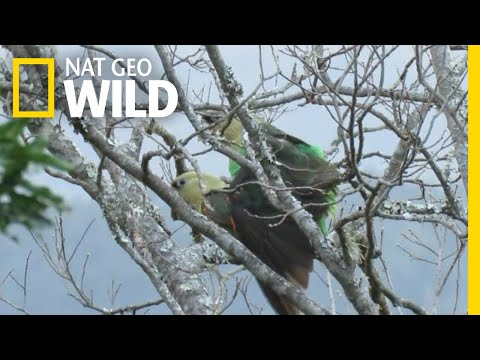 Africa's Rarest Parrot Filmed Mating for the First Time | Nat Geo Wild