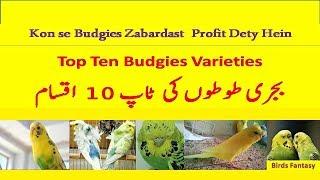 Budgies Top Ten Varieties  with prices 2017/18 Top 10 Profitable budgies