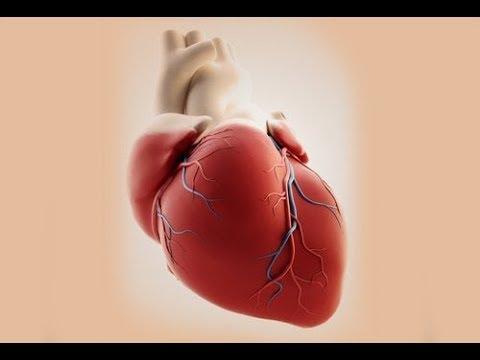 Como funciona el corazón? Sistema cardiovascular - YouTube