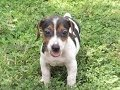 Jack Russell, Puppies, Dogs, For Sale, In Atlanta, Georgia, GA, Savannah, Sandy Springs, Roswell
