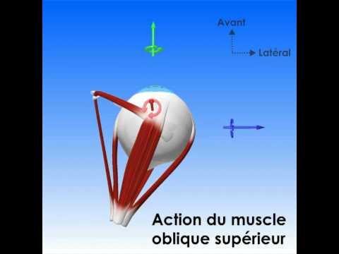 Oculomotricité : champs d'action des muscles