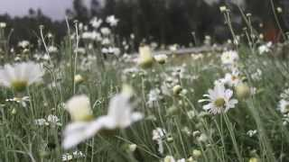 The Rwanda Pyrethrum Program