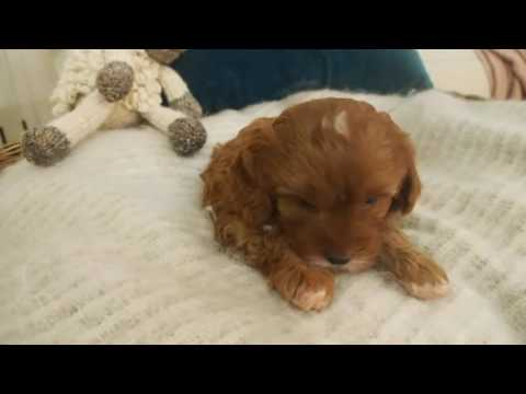 Pocket Puppies - Izzy's Toy Cavoodle Boy 4757