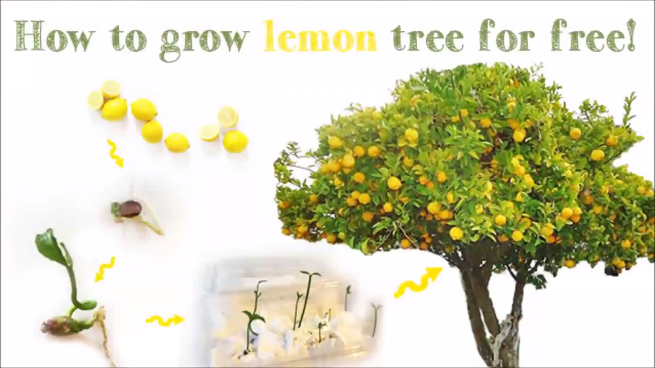 How to grow a lemon tree from seed youtube for Can i grow a lemon tree from lemon seeds