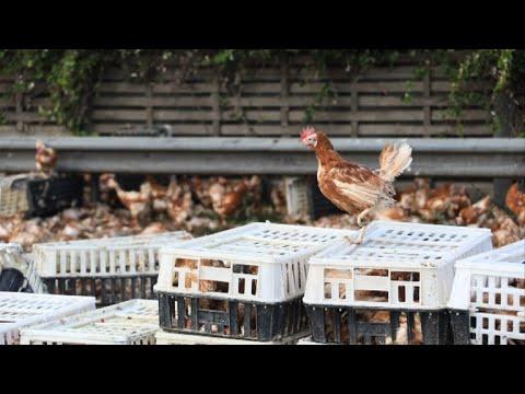 Thousands of chickens block Austrian motorway