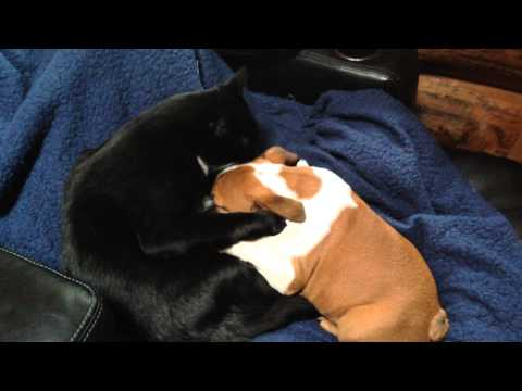 Cat welcomes English Bulldog puppy to the family with kisses