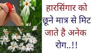 हारसिंगार को छूने मात्र से मिट जाते है अनेक रोग., Harsingar Benefits, Night jasmine Ke Fayde..