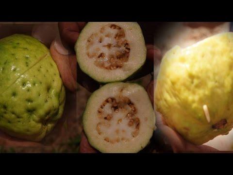 La Mosca de la Fruta en La Guayaba
