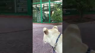 Dubai Crown Prince Sheikh Hamdan|Gorilla in Cage|Pet Lion|Animals|Gorilla's play area