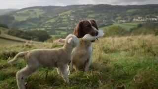 Собака кормит ягненка.