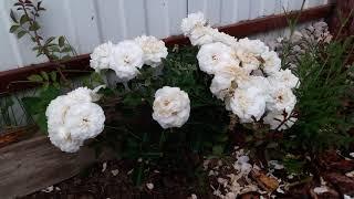 Мускусные розы: обзор сортов.