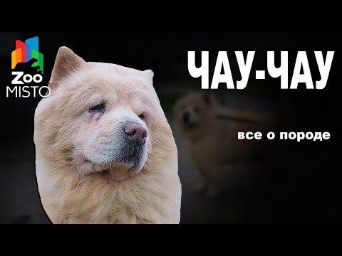 Чау-чау - Все о породе собаки | Собака породы - Чау-чау