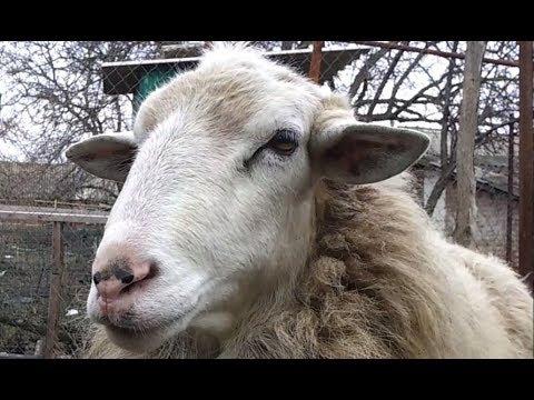 Как содержать овец в домашних условиях видео