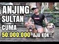 Anjing Sultan Cuma 50jt Aja Kok Ternak American Bully Sukses Raup Ratusan Juta