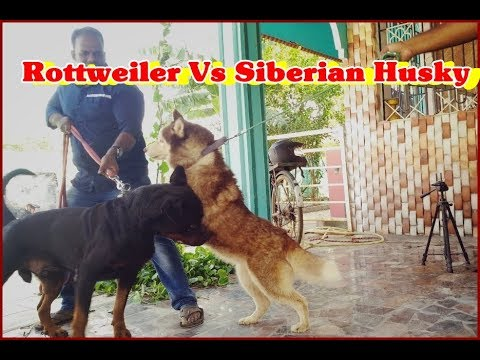 Introducing My Rottweiler's  to Siberian husky |Rottweiler Vs Siberian Husky