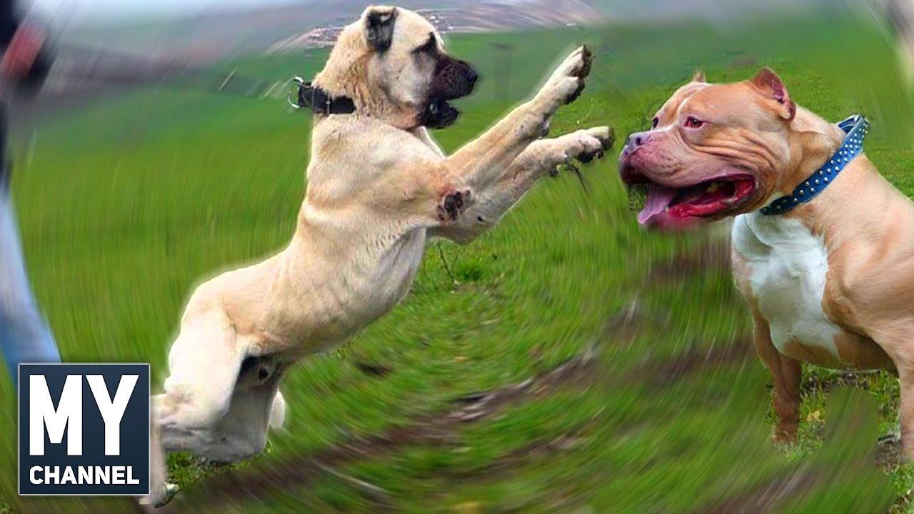 En İnanılmaz Köpek Irkları (KANGAL mı PİTBULL mu? , Hayvanlar Alemi)