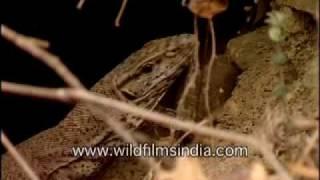 Video Monitor Lizard of Shivaji fame! download MP3, 3GP, MP4, WEBM, AVI, FLV April 2018