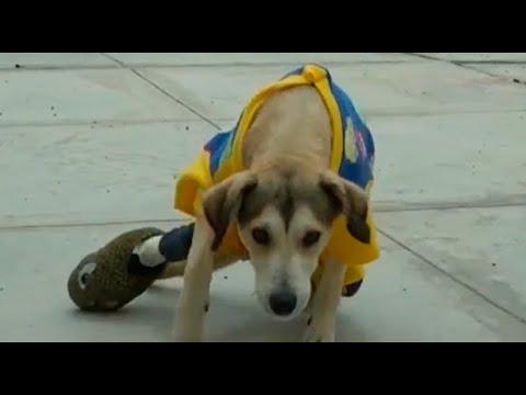 Delincuentes roban silla de ruedas a perrito con discapacidad en Chimbote