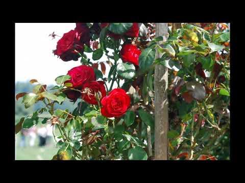 Как прививать розы в 2018 году на шиповник