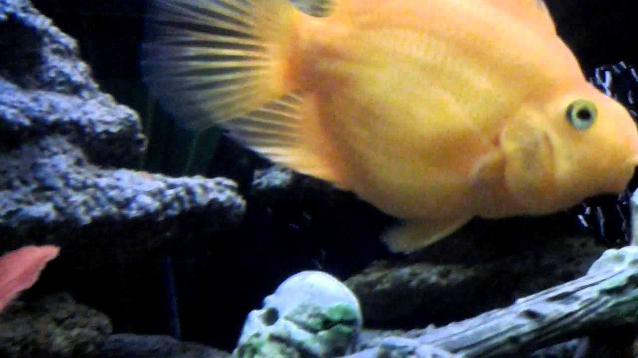 Рыба попугай - с кем можно держать в 1 аквариуме