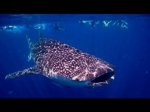 3 ISLANDS WHALE SHARK DIVE - Western Australia
