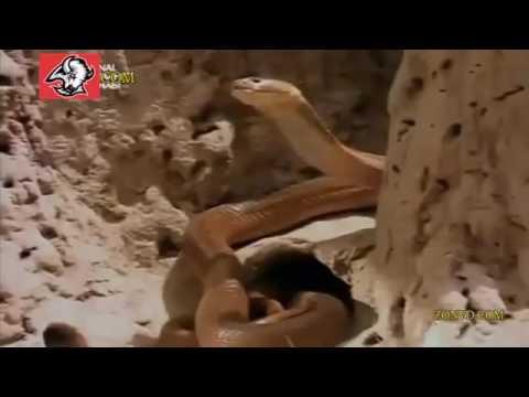 Snake Mamba Black vs King cobra vs Komodo dragon vs mongoose vs Python Animal Fi